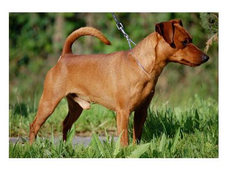 Pinscher austriaco - Raza de Perro