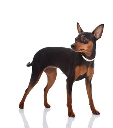 Pinscher Miniatura - Raza de Perro