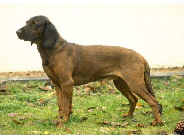 Rastreador de Hannover - Raza de Perro