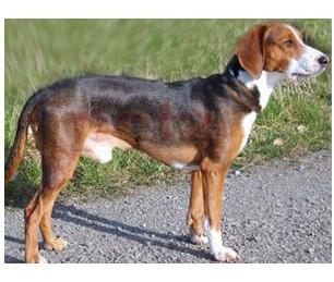 Sabueso alemán - Raza de Perro