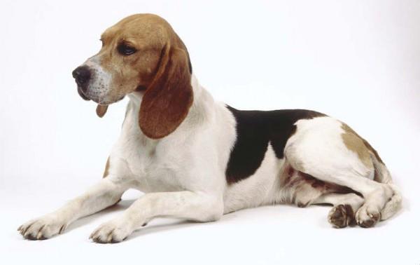 Sabueso Artesiano - Raza de Perro