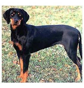 Sabueso austriaco negro y fuego - Raza de Perro