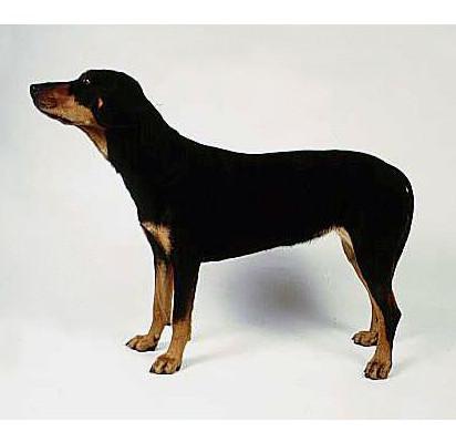 Sabueso de Transilvania - Raza de Perro