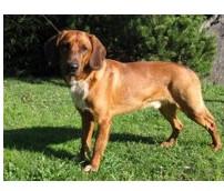 Sabueso del Tirol - Raza de Perro