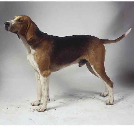 Sabueso francés tricolor - Raza de Perro