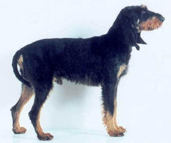 Sabueso Italiano (de pelo duro) - Raza de Perro
