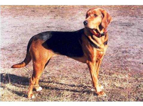 Sabueso polaco - Razas de Perros