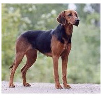 Sabueso Schiller - Raza de Perro