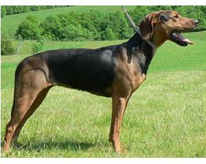 Sabueso serbio - Raza de Perro