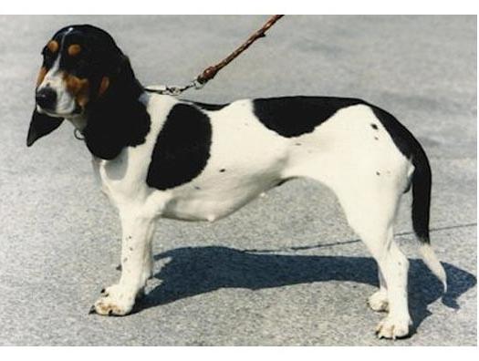 Sabueso suizo - Raza de Perro