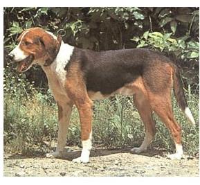 Sabueso tricolor serbio - Raza de Perro