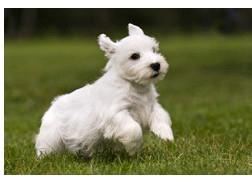 Sealyham Terrier - Raza de Perro