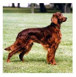 Setter irlandés rojo - Raza de Perro