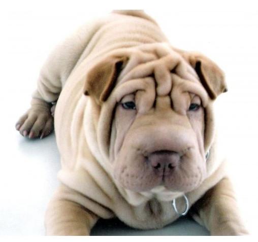Shar Pei - Raza de Perro