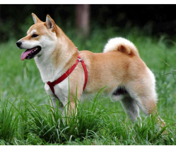 Shiba - Raza de Perro