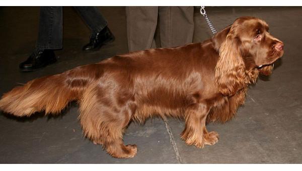Spaniel de Sussex - Raza de Perro