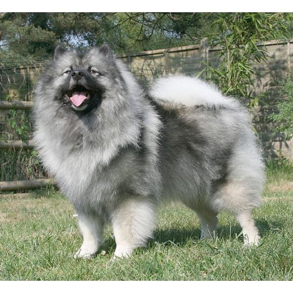 Spitz Alemán - Raza de Perro