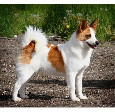 Spitz de Norrbotten - Raza de Perro