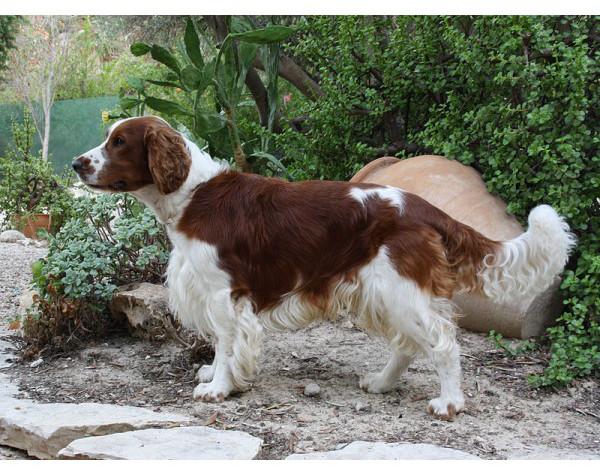 Springer Spaniel Galés - Raza de Perro
