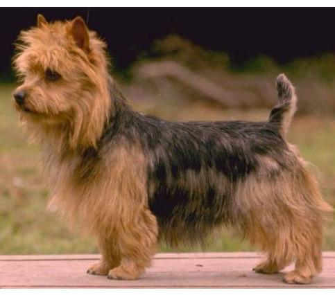 Terrier Australiano - Raza de Perro