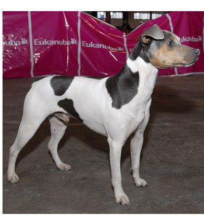 Terrier Brasileño - Raza de Perro