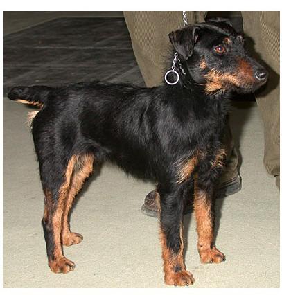 Terrier cazador alemán - Raza de Perro