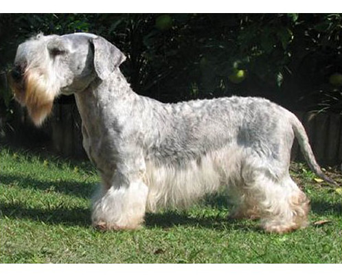 Terrier Cesky - Raza de Perro