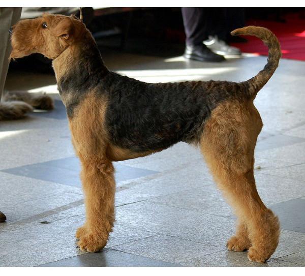 Terrier de Airedale - Raza de Perro