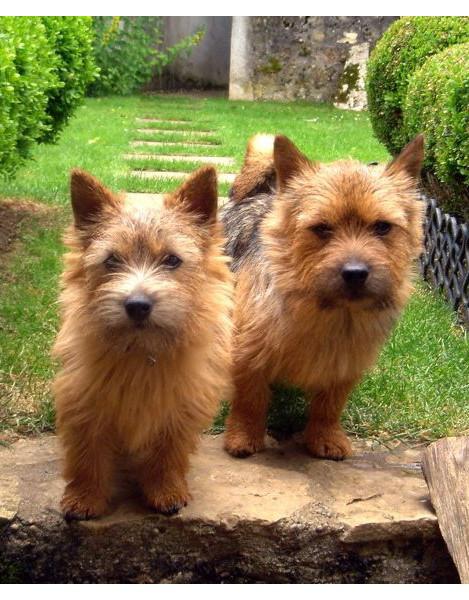 Terrier de Norwich - Raza de Perro