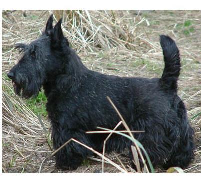 Terrier Escocés - Raza de Perro