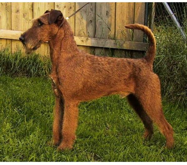 Terrier Irlandés - Raza de Perro