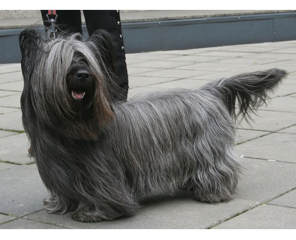 Terrier de Skye - Raza de Perro