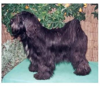 Terrier Tibetano - Raza de Perro