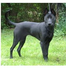 Thai Ridgeback Dog - Raza de Perro