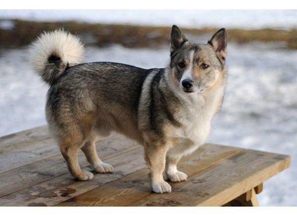 Valhund Sueco - Razas de Perros