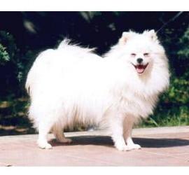 Volpino Italiano - Raza de Perro