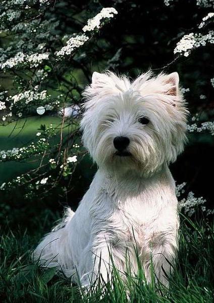 West Highland White Terrier - Raza de Perro