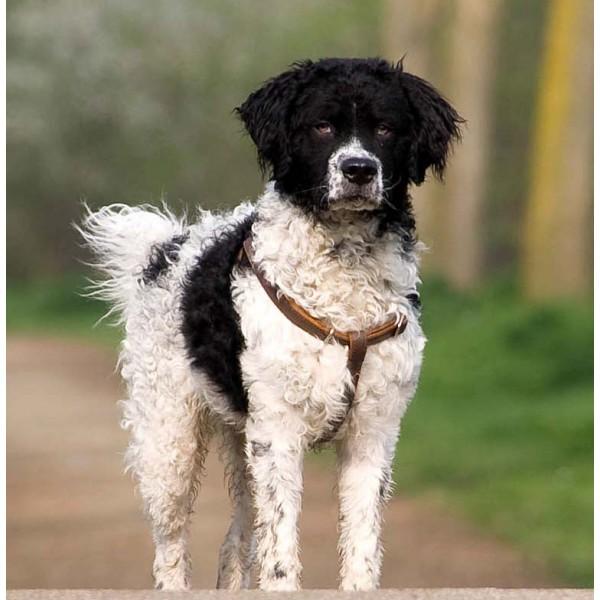 Wetterhound - Raza de Perro