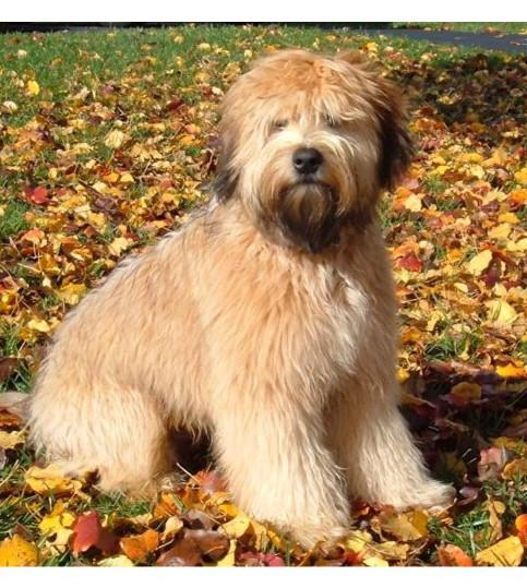 Wheaten Terrier - Raza de Perro