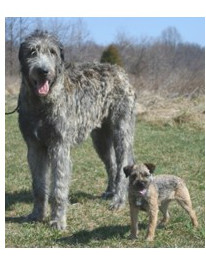 Wolfhound Irlandés - Raza de Perro