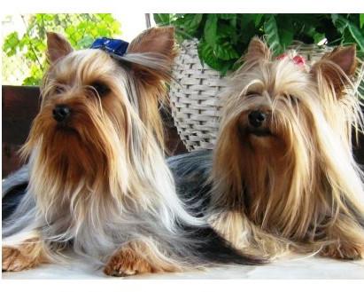 Yorkshire terrier - Raza de Perro