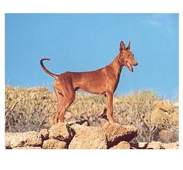 Podenco Canario - Raza de Perro