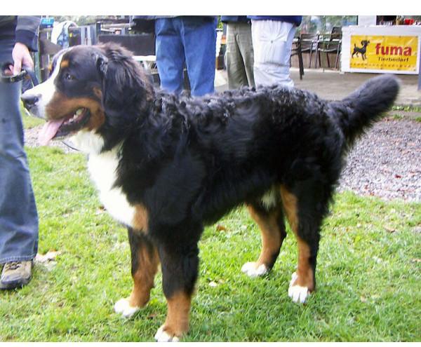 Perro de Montaña Bernés - Raza de Perro