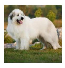 Perro de Montaña de Los Pirineos - Raza de Perro