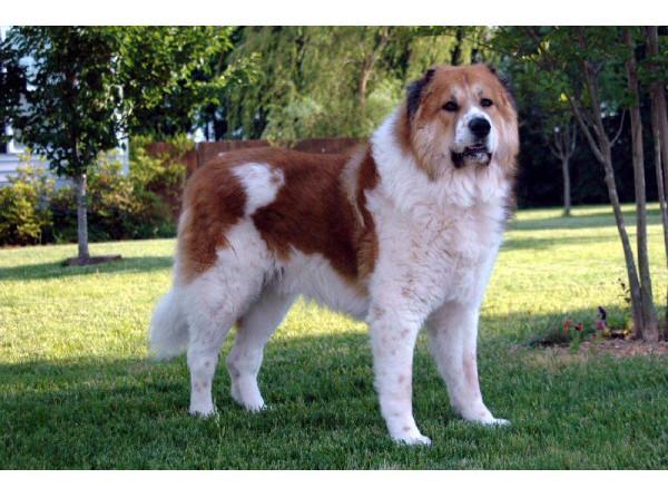 Perro de pastor del Cáucaso - Raza de Perro