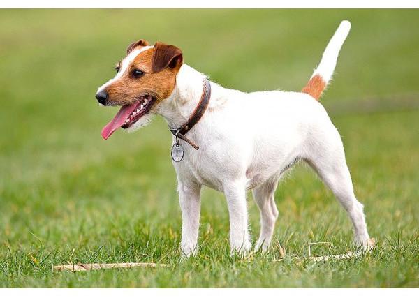 Parson Russell Terrier - Raza de Perro