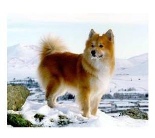 Perro de Pastor islandés - Raza de perro