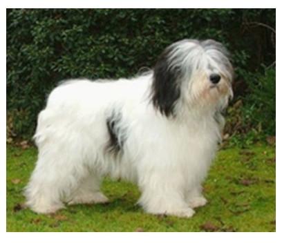 Perro de pastor polaco de las Llanuras - Raza de Perro