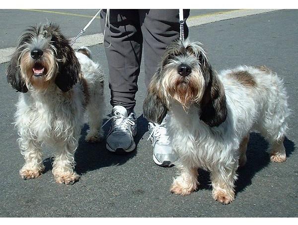 Pequeño Basset Grifón vendeano - Raza de perro