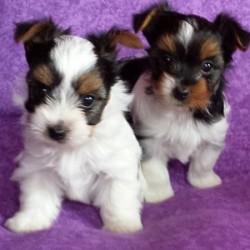 Brétemas de Gaia - Criador de perros